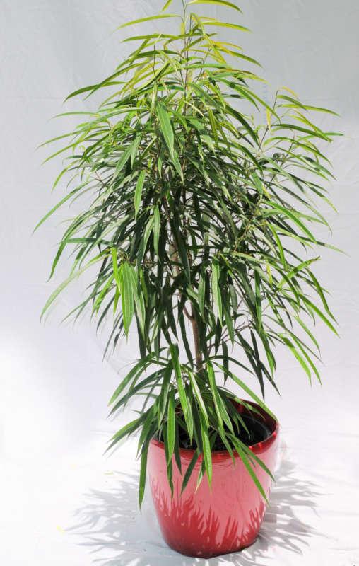 Longfolia Ficus